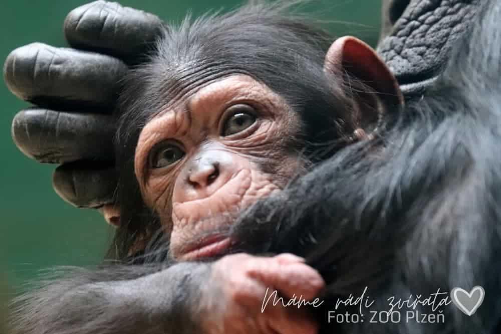 Šimpanz mládě v ZOO Plzeň