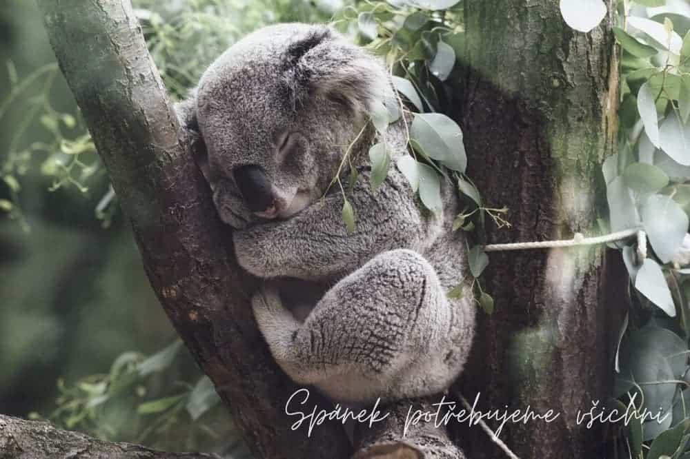 Koala spánek