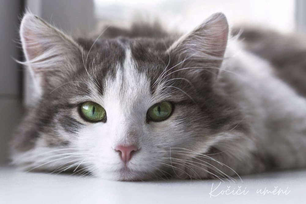 Kočka, zelené oči