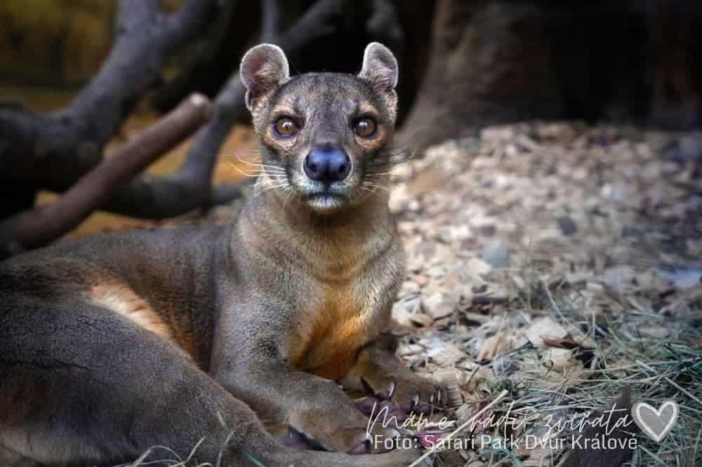 Fosa v Safari Park Dvůr Králové