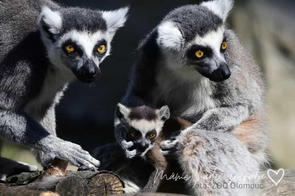 Lemur kata mláďata