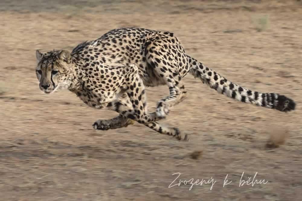Gepard běží