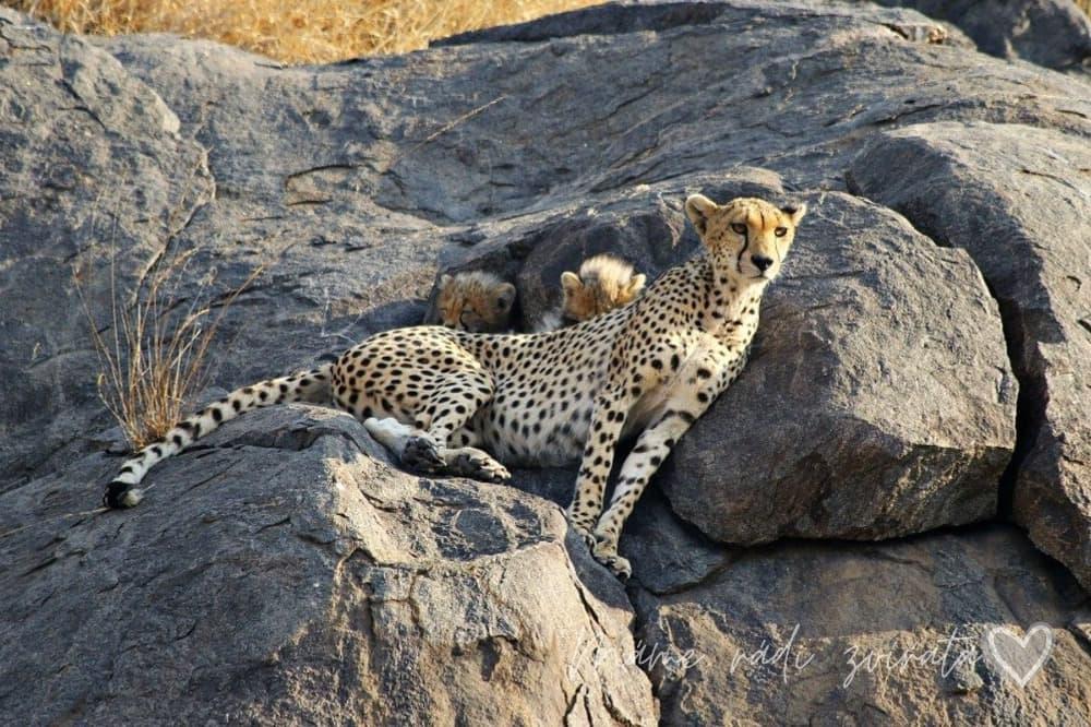 Gepard a koťata