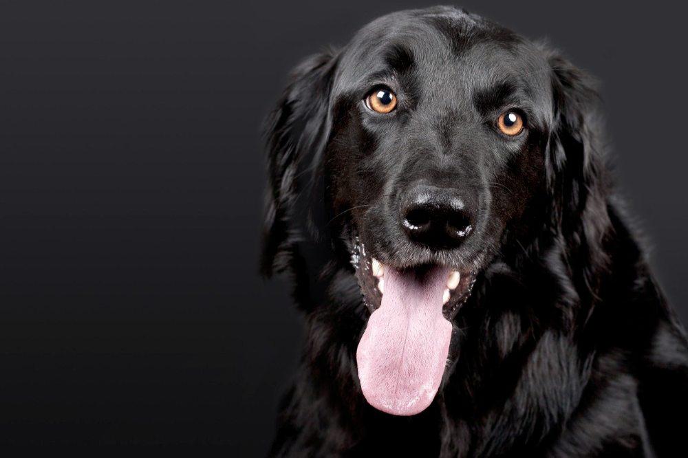 Černý pes, retrívr
