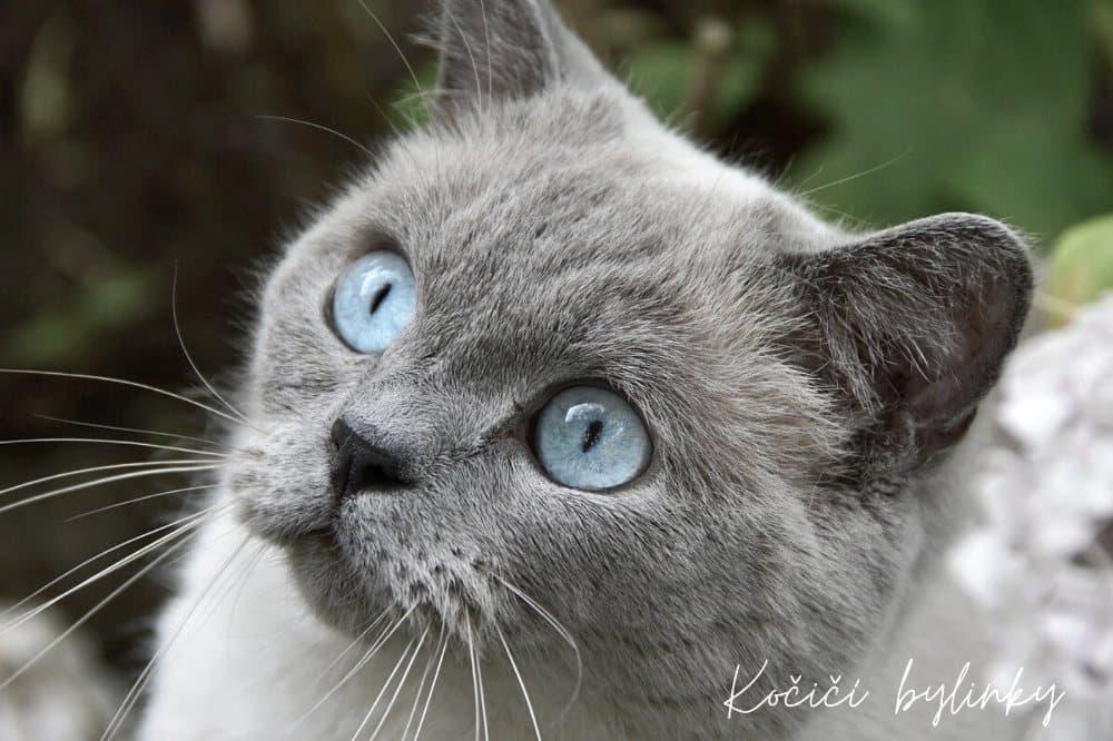 Kočka, modré oči