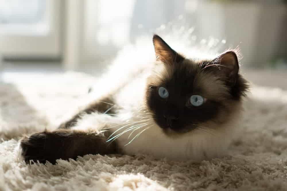 Birma, posvátná kočka