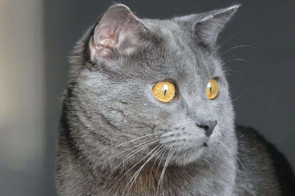 Kartouzská kočka, chartreux