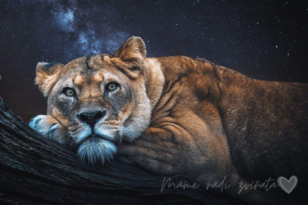 Zvířata, lev