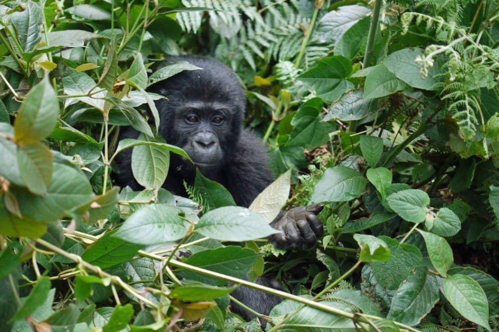 Gorilla, gorila horská, mládě