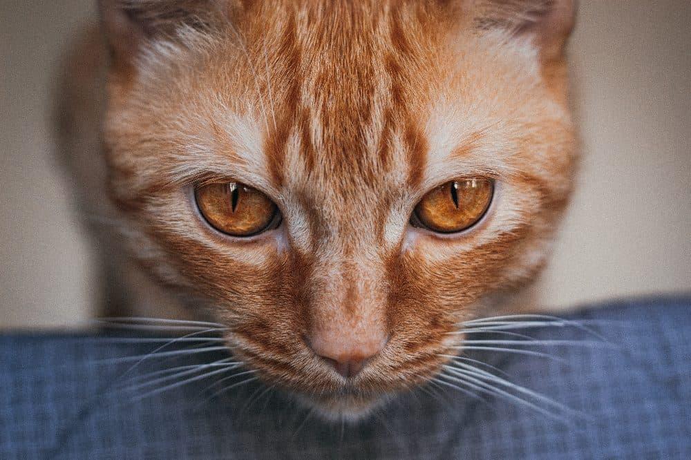 Kočka zrzavá