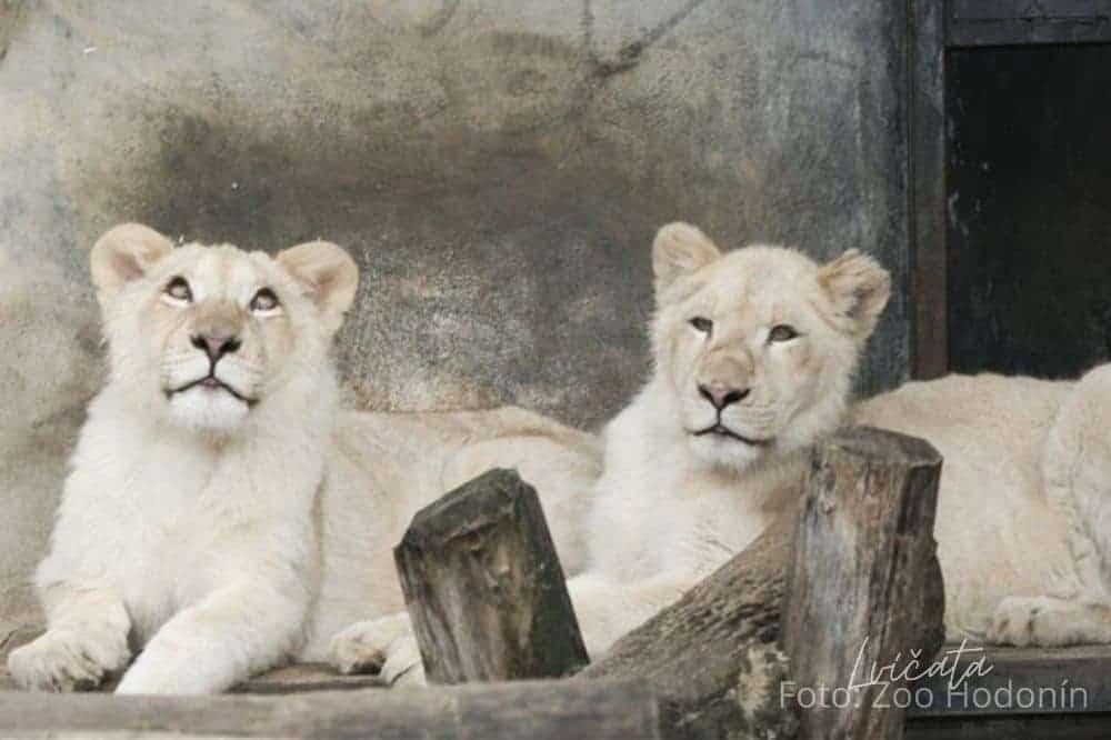 Bílá lvíčata, Zoo Hodonín