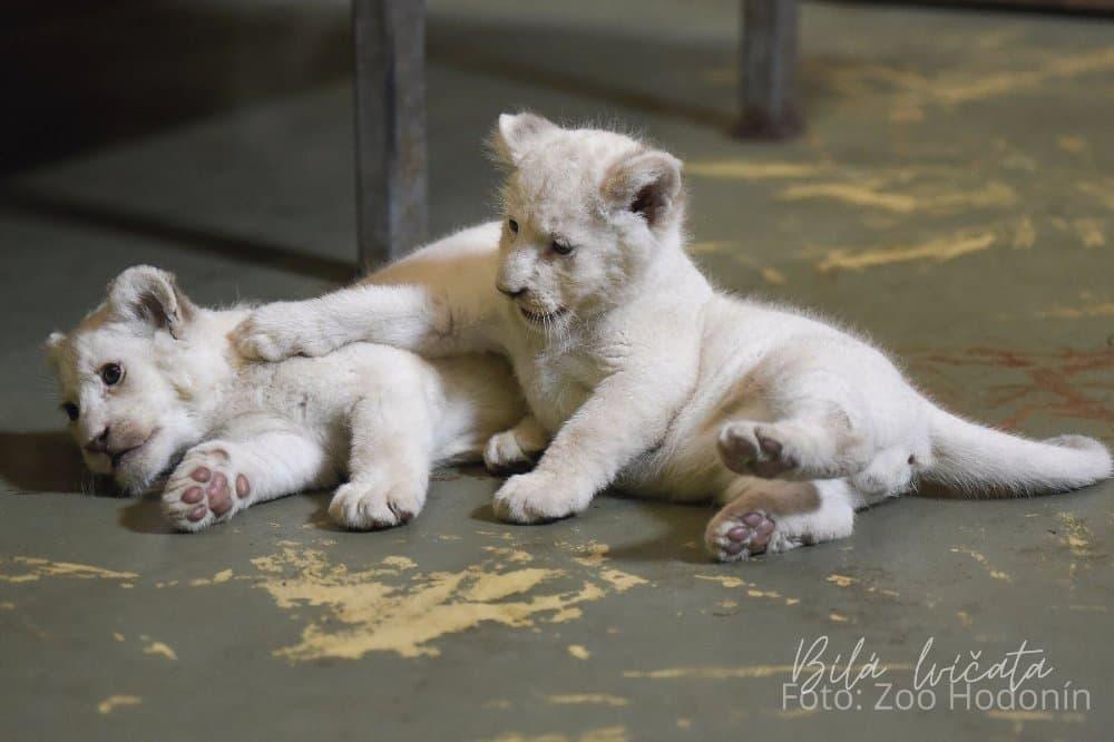 Bílá lvíčata
