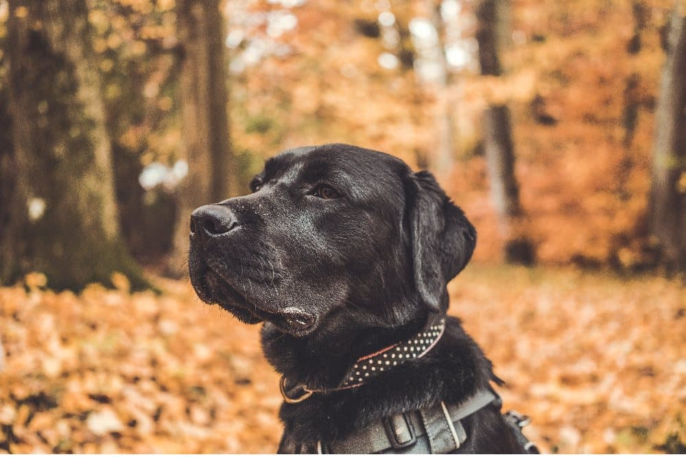 Pes, černý labrador
