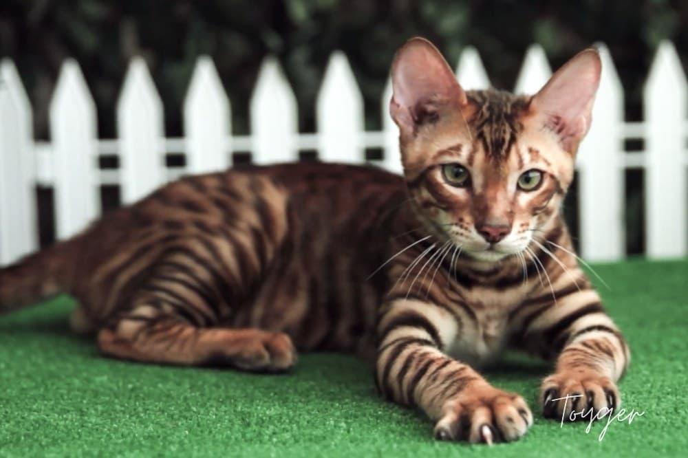 Toyger kočka