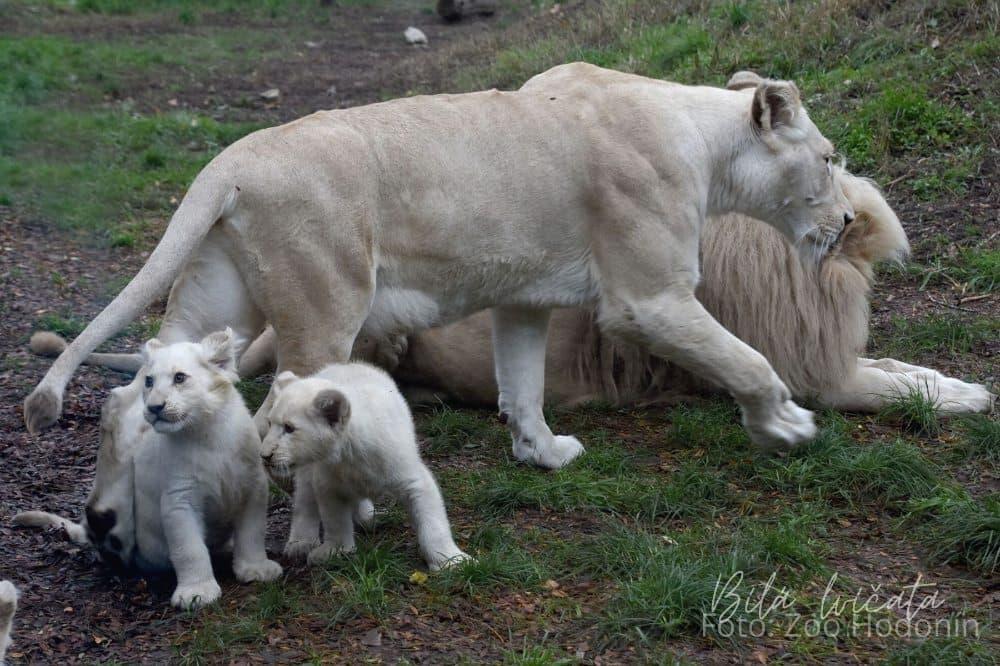 Bílá lvíčata Zoo Hodonín
