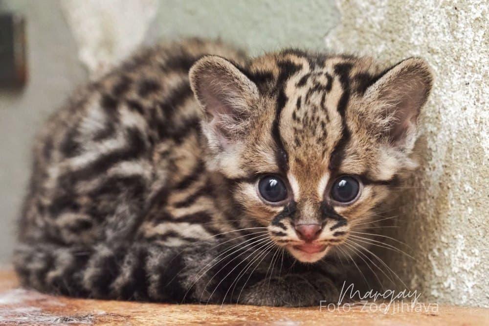 Margay kotě