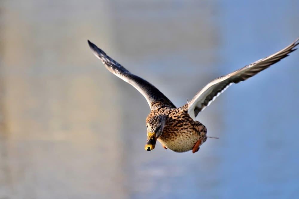 Kachna, vodní pták