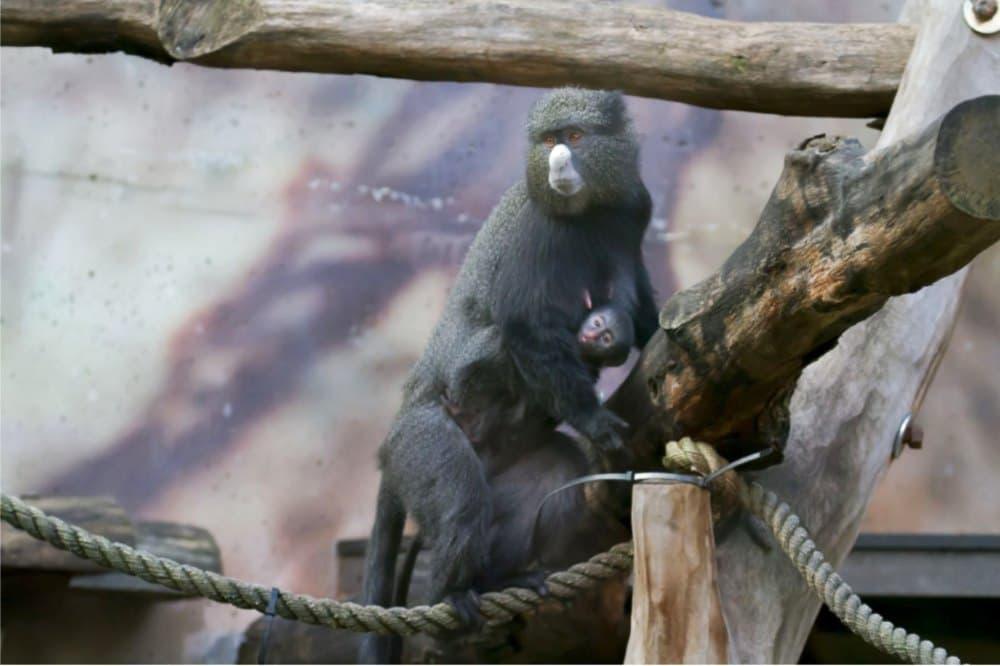 Mládě kočkodana, Zoo Dvůr Králové