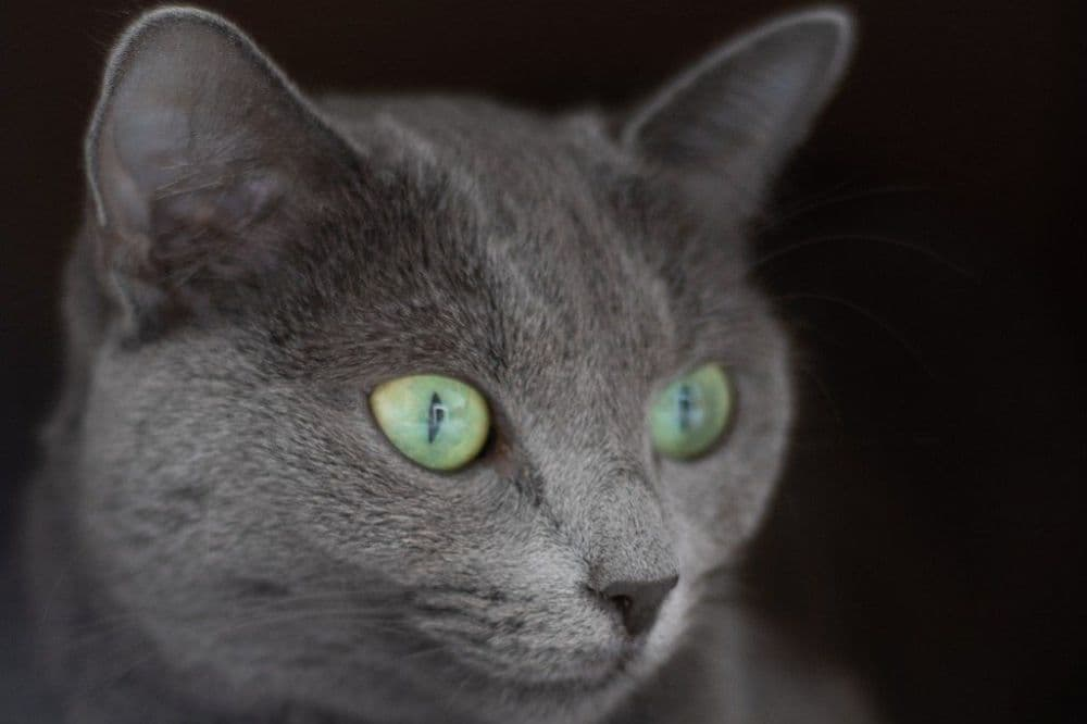 Archangels cat, ruská modrá kočka