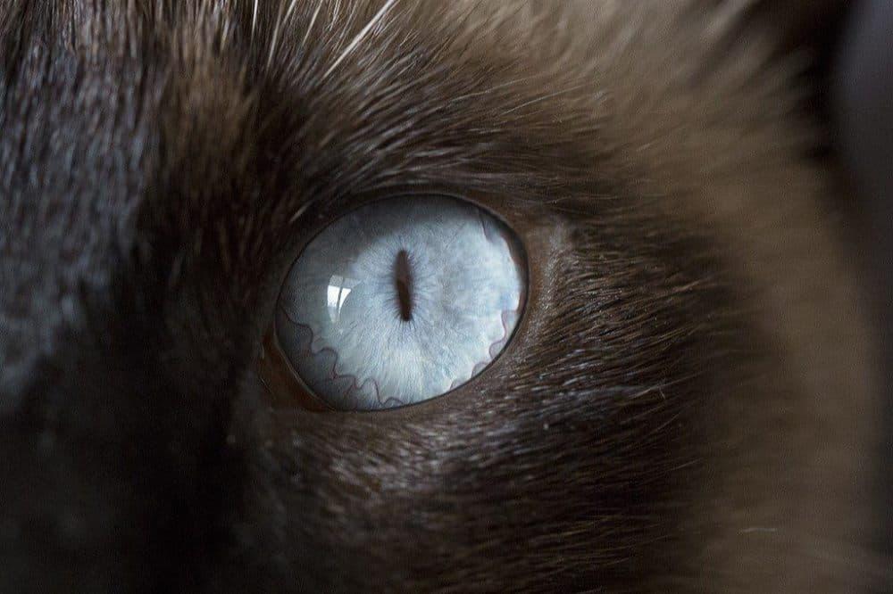 Siamská kočka, modré oko